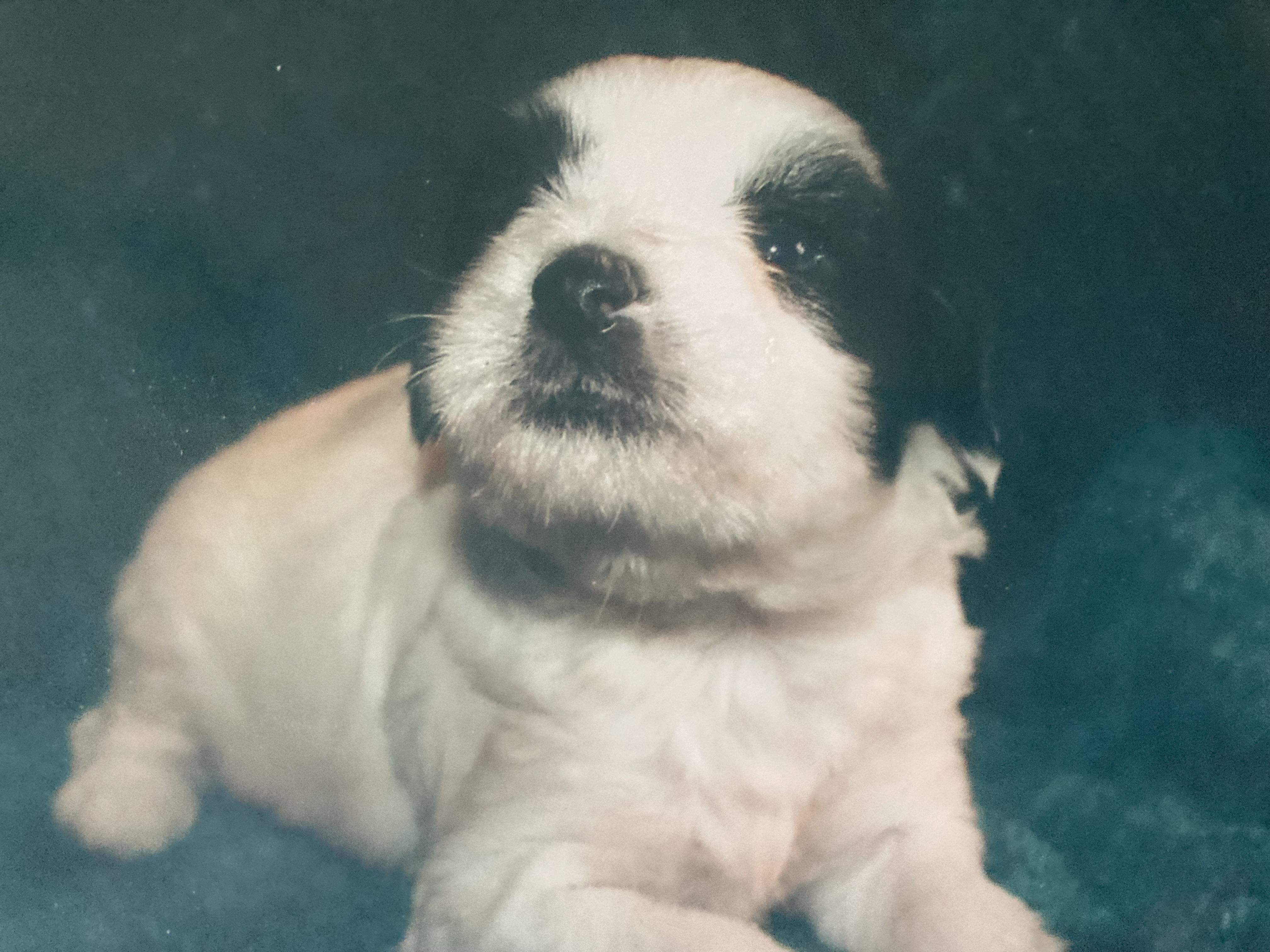 White Tri Tibetan Terrier Dazzlers Delight male