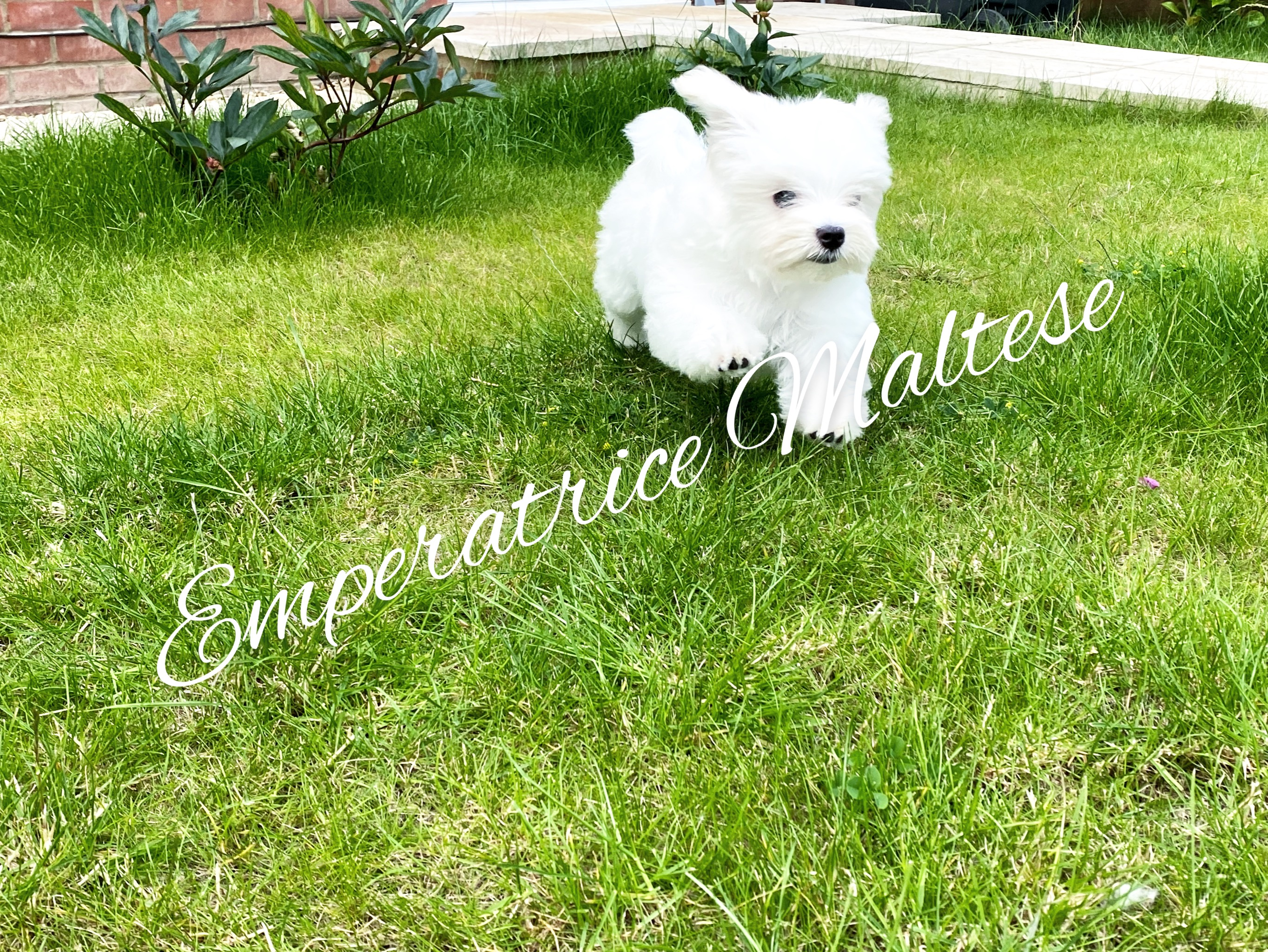 Emperatrice Maltese have amazing tiny baby boy available- fully vaccinated, health checked and microchipped ! KC reg