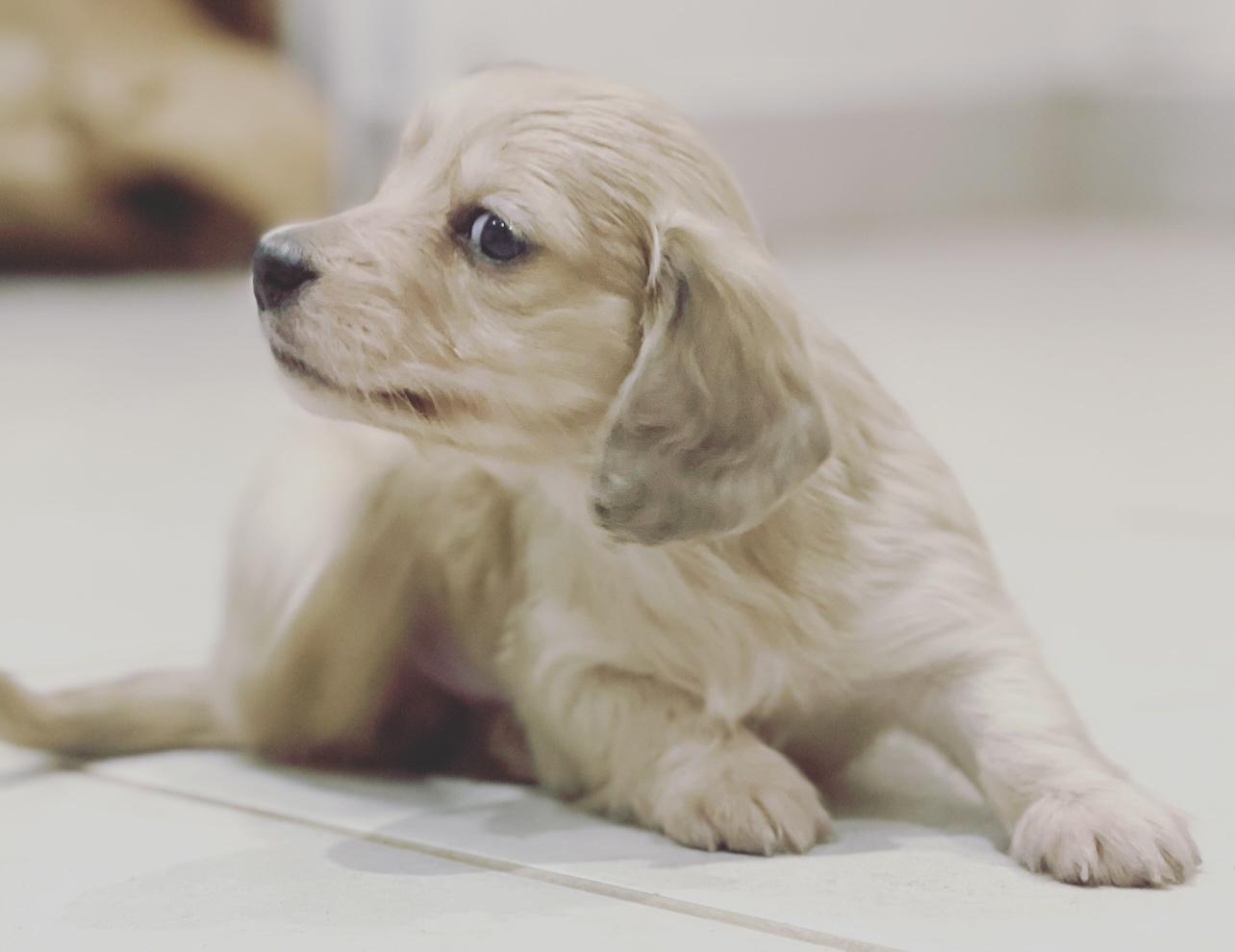 Cream puppies